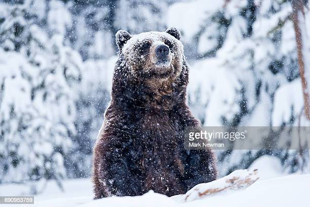 grizzly bear in snow - grizzly bear stock pictures, royalty-free photos & images