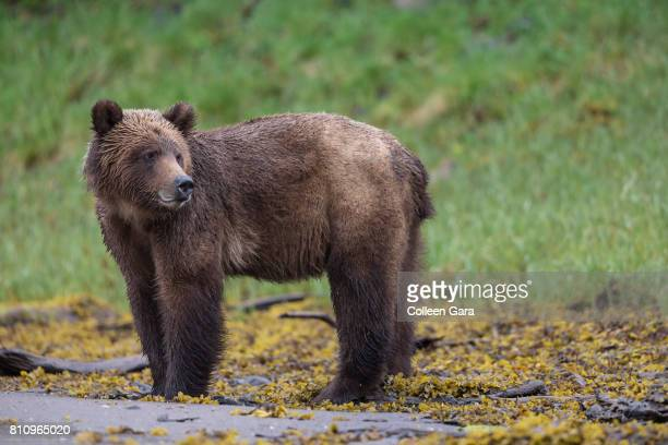 Grizzly Bear in the Khutzeymateen Inlet, British Columbia