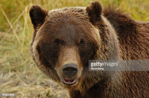 A grizzly bear is pictured in its enclosure at the Alaska Wildlife Conservation Center in Portage Alaska Monday August 22 2005 AWCC is a nonprofit...