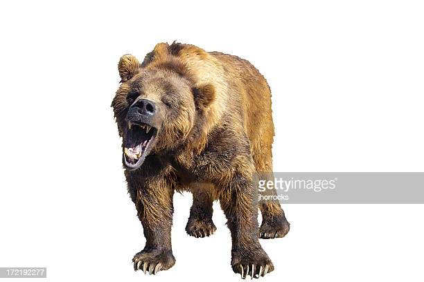 grizzly bear isolated - bear stock pictures, royalty-free photos & images