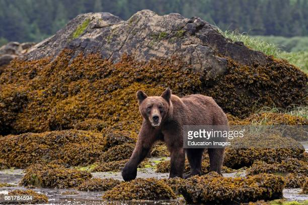Grizzly Bear low tide Khutzeymateen Northern BC Canada