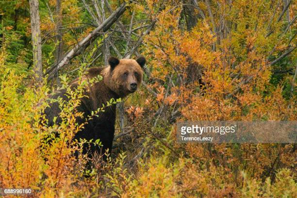 Grizzly bear male among autumn tundra, Yukon Territory, Canada