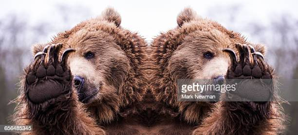 Grizzly bear mirror image