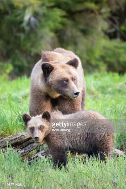 grizzly bear mother and cub in a grassy meadow - wilderness stock pictures, royalty-free photos & images