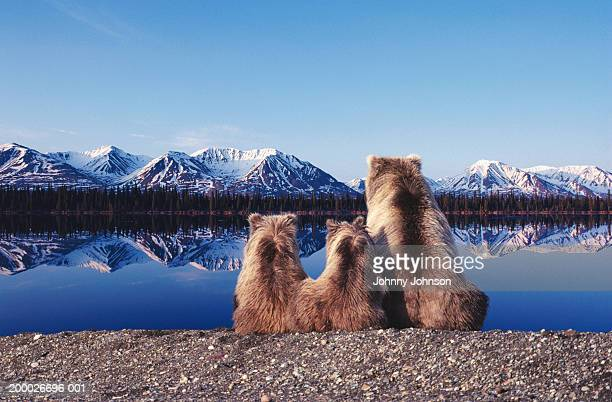 Grizzly bear (Ursus arctos)mother and cubs at lake shore, dusk