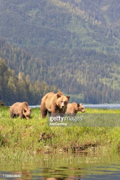 grizzly bear mother and cubs in a grassy meadow - canada stock pictures, royalty-free photos & images