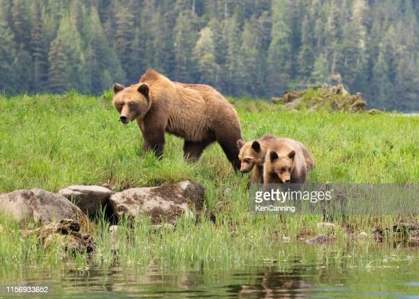 grizzly bear mother and cubs in a grassy meadow - british columbia stock pictures, royalty-free photos & images