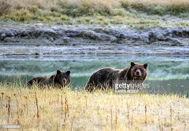 A Grizzly bear mother and her cub walk near Pelican Creek October 8 2012 in the Yellowstone National Park in WyomingYellowstone National Park is...