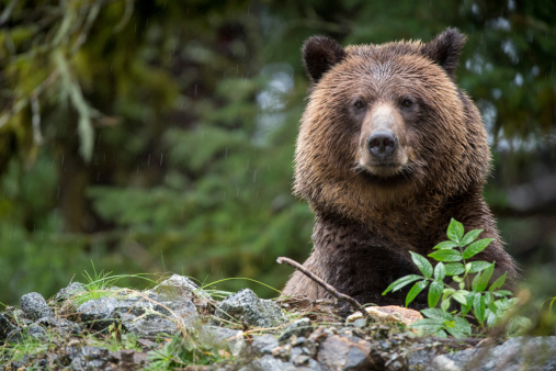 Grizzly Bear, Mussel Inlet, BC 476829045