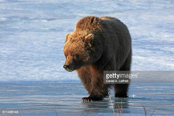 Grizzly Bear on Ice
