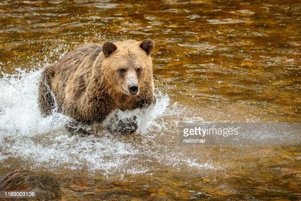 grizzly bear, or north american brown bear - grizzly bear stock photos and pictures
