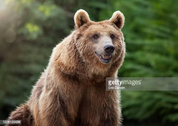 grizzly bear - mamífero - fotografias e filmes do acervo
