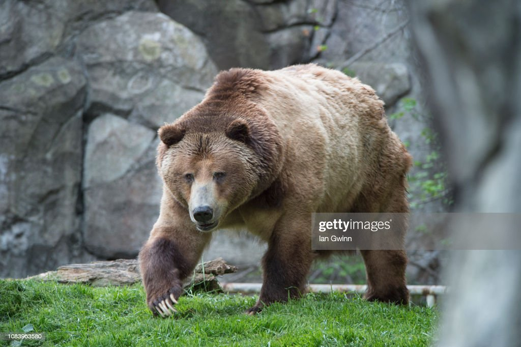 Grizzly Bear : Stock Photo