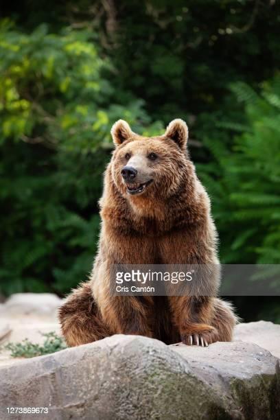 grizzly bear - cris cantón photography fotografías e imágenes de stock