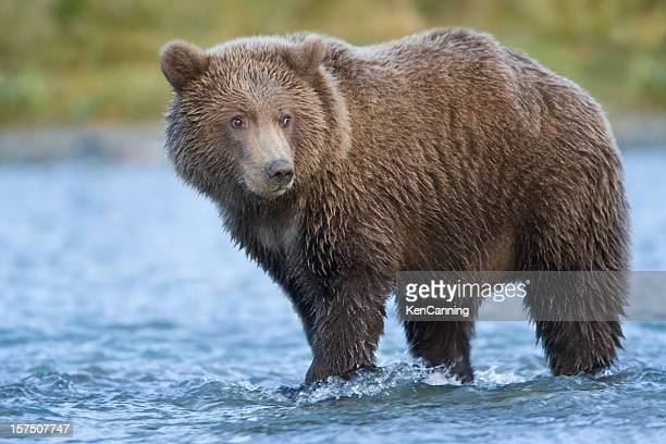 grizzly bear - brown bear stock pictures, royalty-free photos & images