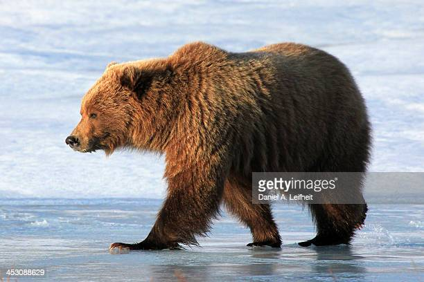 the situation of grizzly bears in british columbia The northern rockies: british columbia grizzly bear part 1 & 2 steve and his buddy ryan callaghan, a british columbia guide, hike into the steep backcountry of northern british columbia in search of grizzlies and black bears.