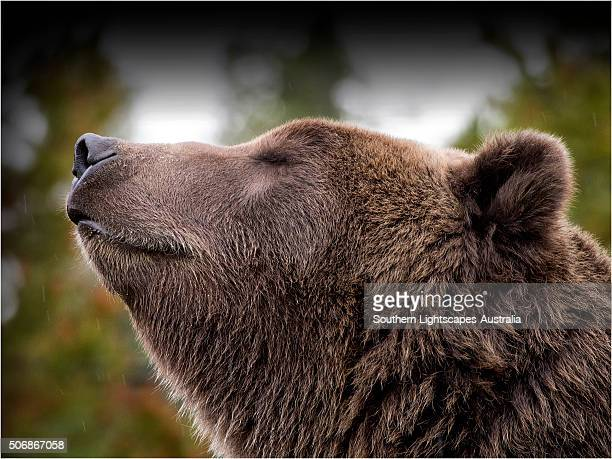 grizzly bear. - grizzly bear attack stock pictures, royalty-free photos & images