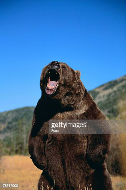 grizzly bear - roaring stock photos and pictures