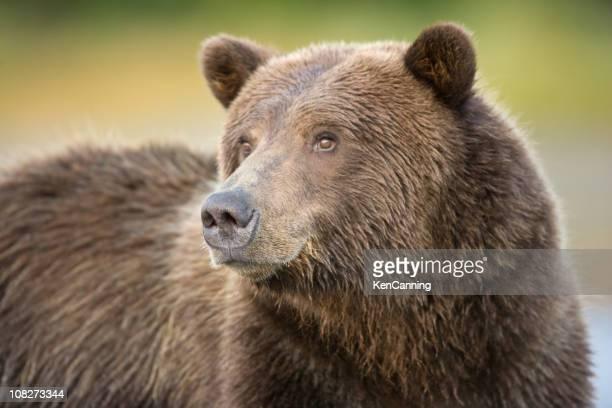 grizzly portrait - ours brun photos et images de collection