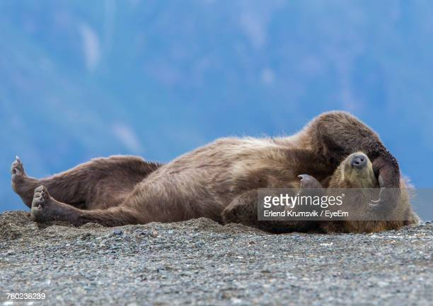 grizzly bear relaxing on ground - orso grizzly foto e immagini stock