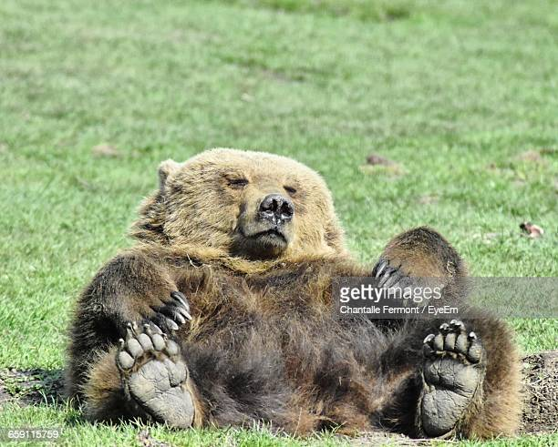 Grizzly Bear Resting On Grassy Field