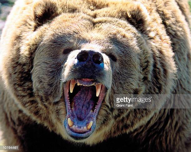 grizzly bear (ursus arctos horribilis) roaring, close up - bear stock pictures, royalty-free photos & images