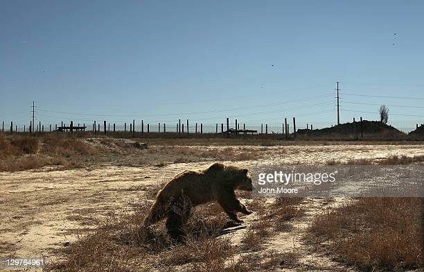 Grizzly bear runs through free-roaming habitat at The Wild Animal Sanctuary on October 20, 2011 in Keenesburg, Colorado. The non-profit sanctuary is...