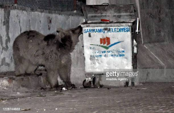 Grizzly bear searches for food in a trash container in Sarikamis district of Turkey's northeastern Kars Province on September 27, 2020.