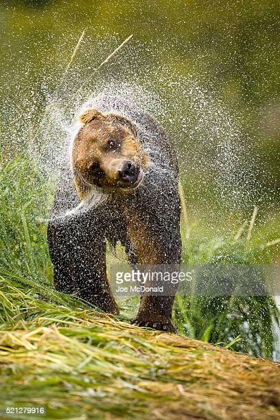 Grizzly bear shaking off water after fishing
