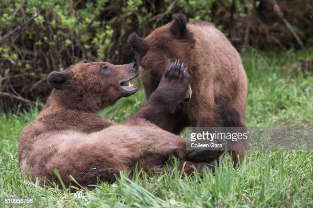 Grizzly Bear Siblings Wrestling in the Khutzeymateen Inlet, British Columbia