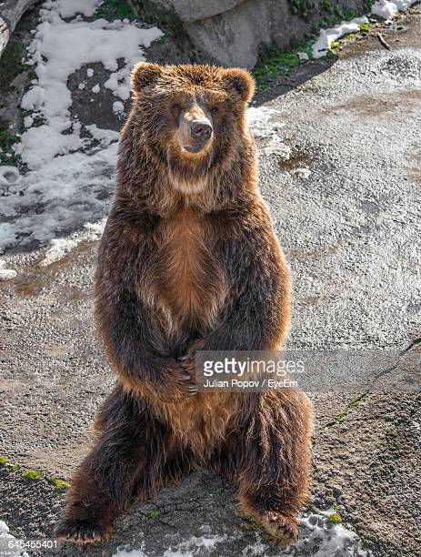 grizzly bear sitting on rock - orso grizzly foto e immagini stock