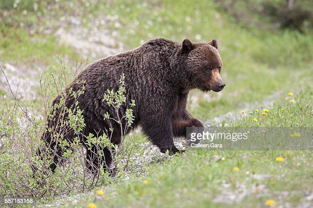 grizzly bear sow, ursus arctos horribilis, climbing hill in kananaskis country, alberta, canada - grizzly bear attack stock pictures, royalty-free photos & images