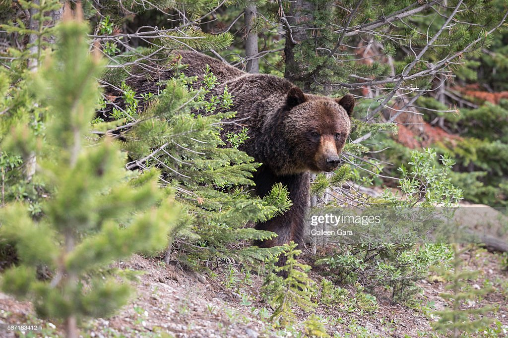 Grizzly Bear Sow, ursus arctos horribilis, coming out of the trees in Kananaskis Country, Alberta, Canada : Stock Photo