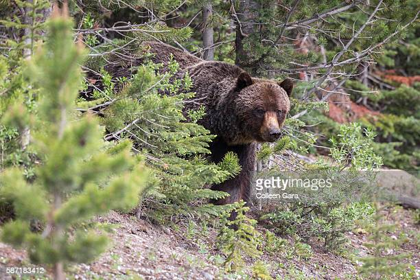 grizzly bear sow, ursus arctos horribilis, coming out of the trees in kananaskis country, alberta, canada - grizzly bear attack stock pictures, royalty-free photos & images