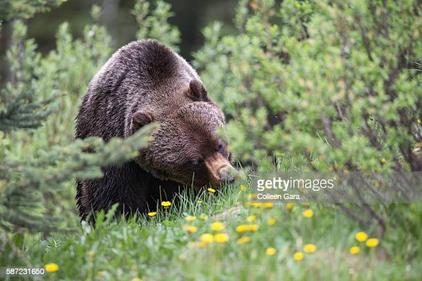 grizzly bear sow, ursus arctos horribilis, foraging on dandelions in kananaskis country, alberta, canada - grizzly bear attack stock pictures, royalty-free photos & images