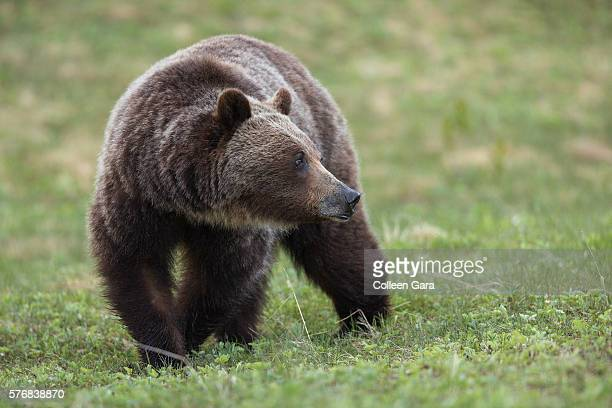 grizzly bear sow, ursus arctos horribilis, in kananaskis country, alberta, canada - kananaskis country stock pictures, royalty-free photos & images