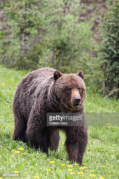 grizzly bear sow, ursus arctos horribilis, in kananaskis country, alberta, canada - grizzly bear attack stock pictures, royalty-free photos & images
