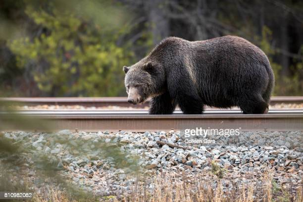 grizzly bear sow, ursus arctos horribilis, on railroad tracks in the canadian rockies - bear tracks stock photos and pictures