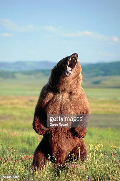 grizzly bear standing and roaring - orso grizzly foto e immagini stock