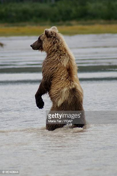 Grizzly bear standing in a river for fishing
