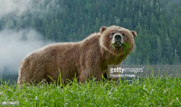 Grizzly Bear standing in Sedge Grass Khutzeymateen Grizzly Bear Sanctuary Canada