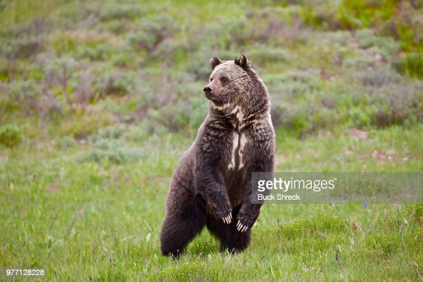 grizzly bear (ursus arctos ssp.) standing on two legs in meadow - orso grizzly foto e immagini stock