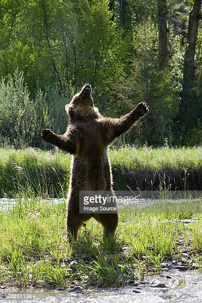 grizzly bear standing up - ours brun photos et images de collection