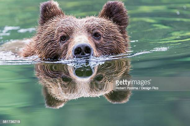 grizzly bear (ursus arctos horribilis) swimming across the river, khutzymateen bear sanctuary, near prince rupert - grizzly bear stock photos and pictures