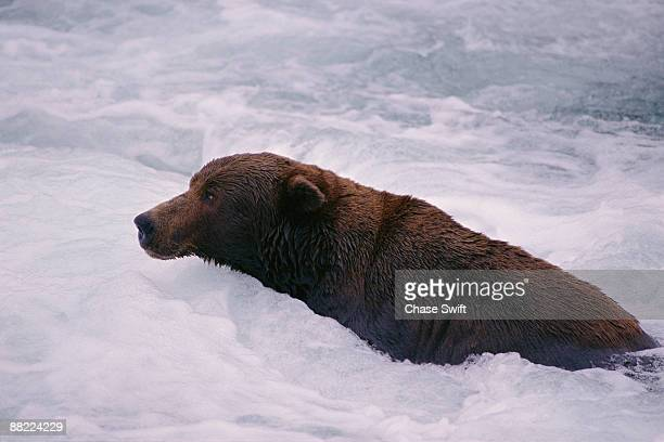 grizzly bear swimming in river - swift river stock photos and pictures