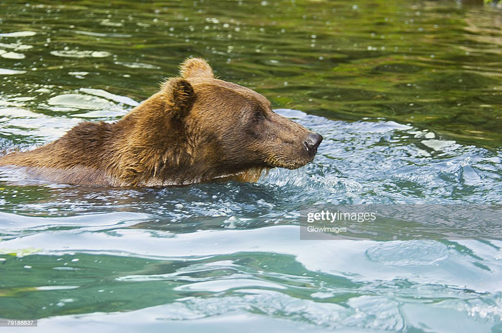 Grizzly bear (Ursus arctos horribilis) swimming in water : Foto de stock