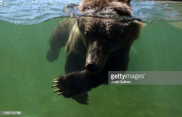 Grizzly bear swims in a pool at the Oakland Zoo on July 01, 2020 in Oakland, California. The Oakland Zoo is on the brink of permanent closure after...