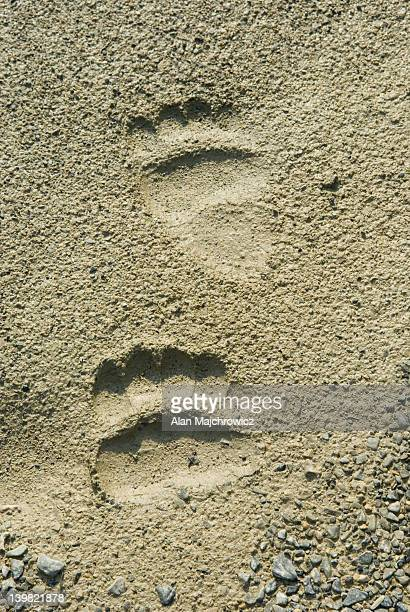 grizzly bear tracks in the waterfall valley, yoho national park, british columbia, canada - bear tracks stock photos and pictures