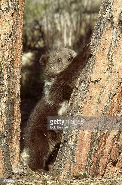 grizzly bear, ursus arctos horribilis, 6 months old, colorado