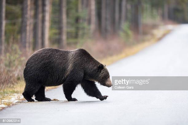 Grizzly Bear, ursus arctos horribilis, crossing road in the Canadian Rockies